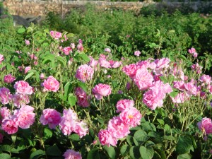 Arabian Rose Garden